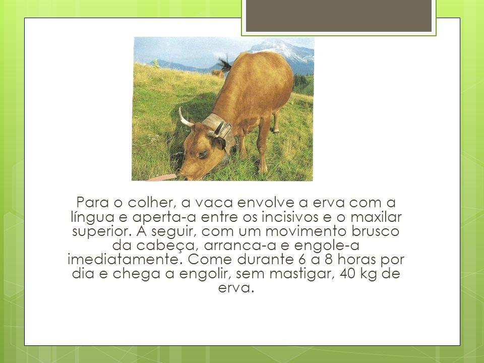 Para o colher, a vaca envolve a erva com a língua e aperta-a entre os incisivos e o maxilar superior.