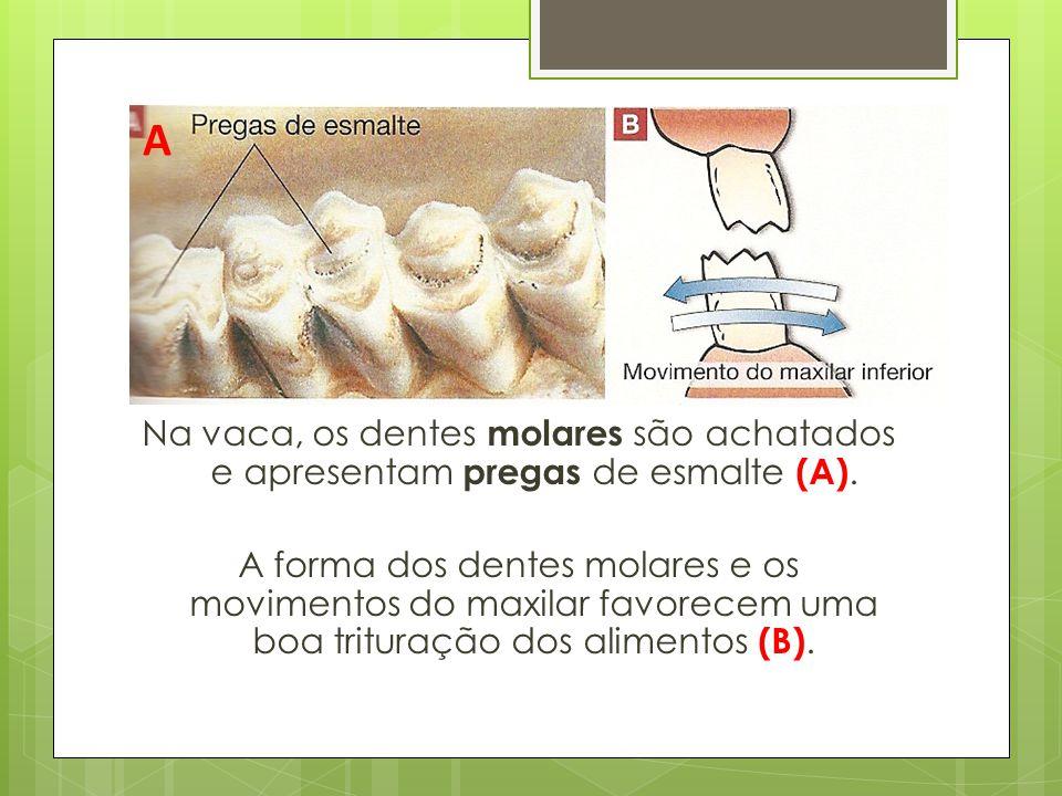 A Na vaca, os dentes molares são achatados e apresentam pregas de esmalte (A).