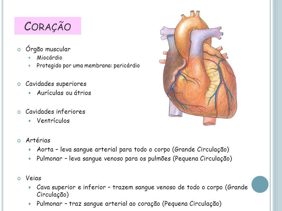 Coração Órgão muscular Cavidades superiores Aurículas ou átrios