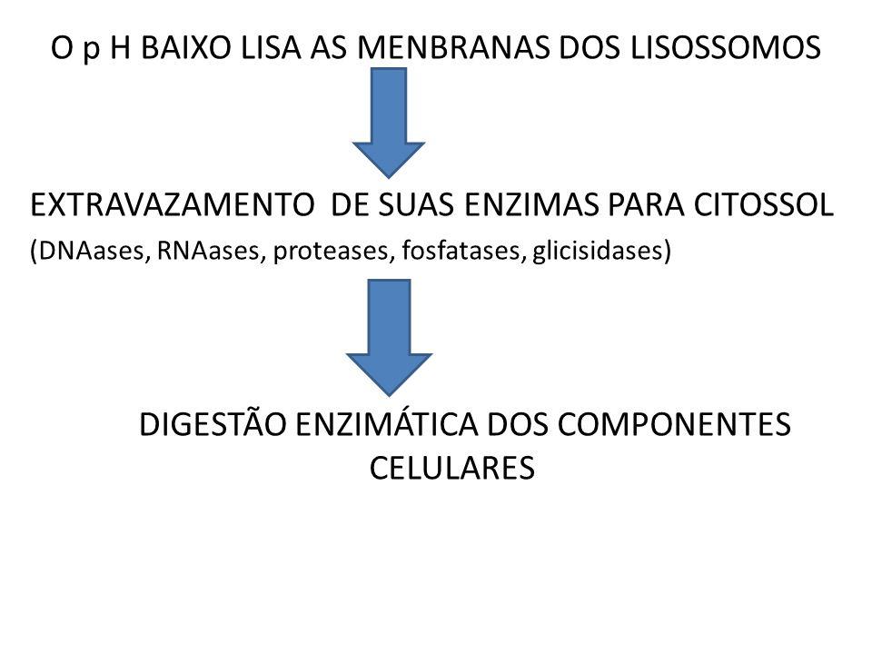 O p H BAIXO LISA AS MENBRANAS DOS LISOSSOMOS