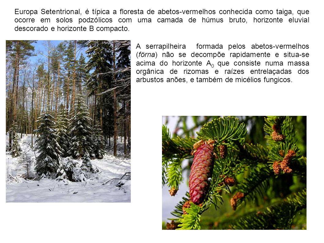 Europa Setentrional, é típica a floresta de abetos-vermelhos conhecida como taiga, que ocorre em solos podzólicos com uma camada de húmus bruto, horizonte eluvial descorado e horizonte B compacto.