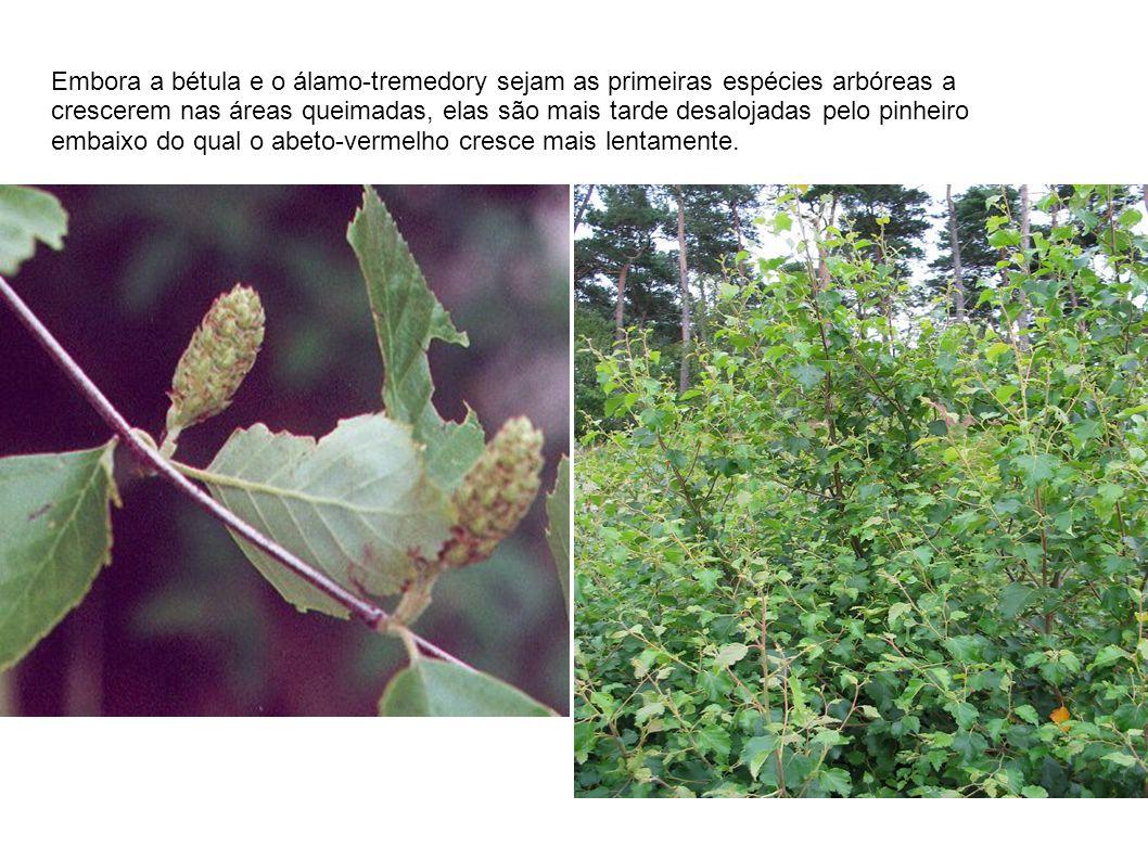 Embora a bétula e o álamo-tremedory sejam as primeiras espécies arbóreas a crescerem nas áreas queimadas, elas são mais tarde desalojadas pelo pinheiro embaixo do qual o abeto-vermelho cresce mais lentamente.