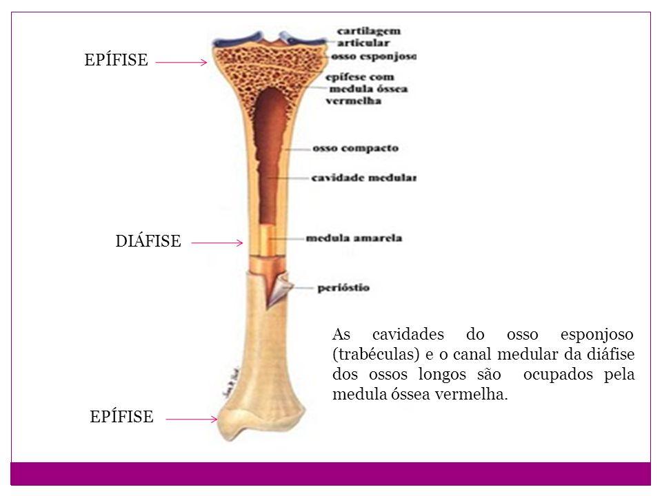 EPÍFISE DIÁFISE. As cavidades do osso esponjoso (trabéculas) e o canal medular da diáfise dos ossos longos são ocupados pela medula óssea vermelha.
