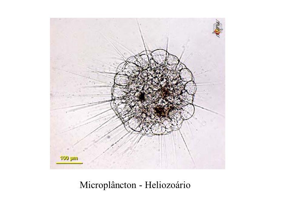 Microplâncton - Heliozoário