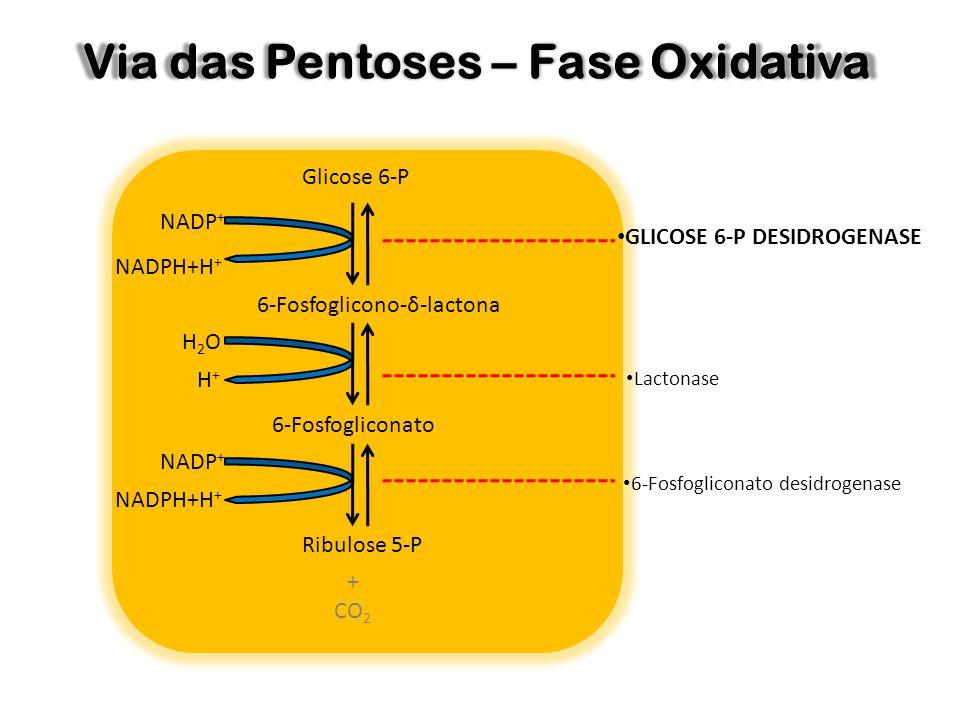 Via das Pentoses – Fase Oxidativa