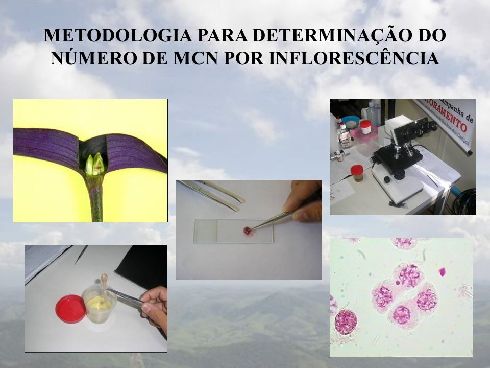 METODOLOGIA PARA DETERMINAÇÃO DO NÚMERO DE MCN POR INFLORESCÊNCIA