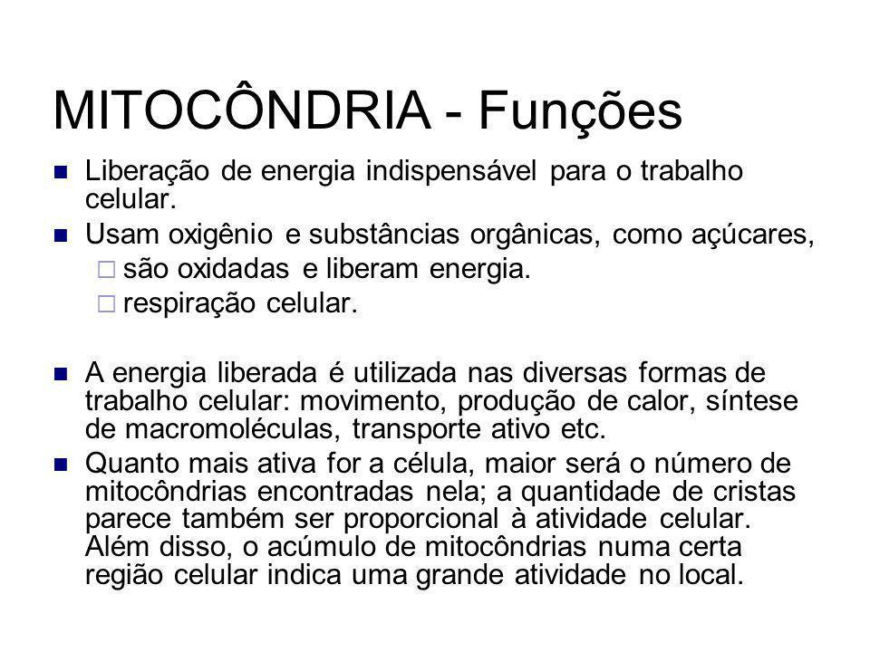 MITOCÔNDRIA - Funções Liberação de energia indispensável para o trabalho celular. Usam oxigênio e substâncias orgânicas, como açúcares,