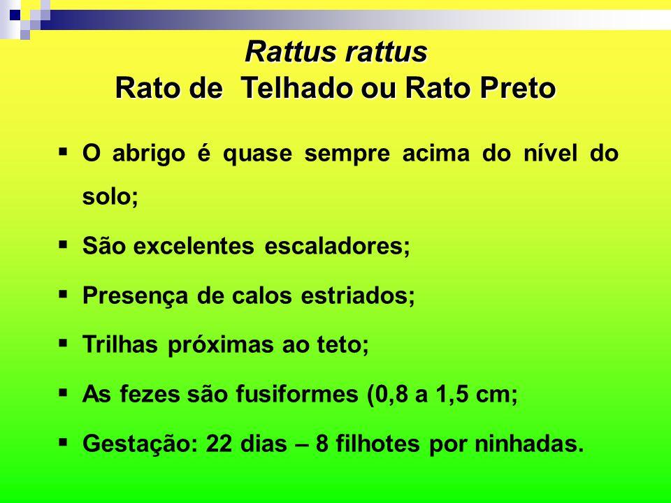 Rattus rattus Rato de Telhado ou Rato Preto