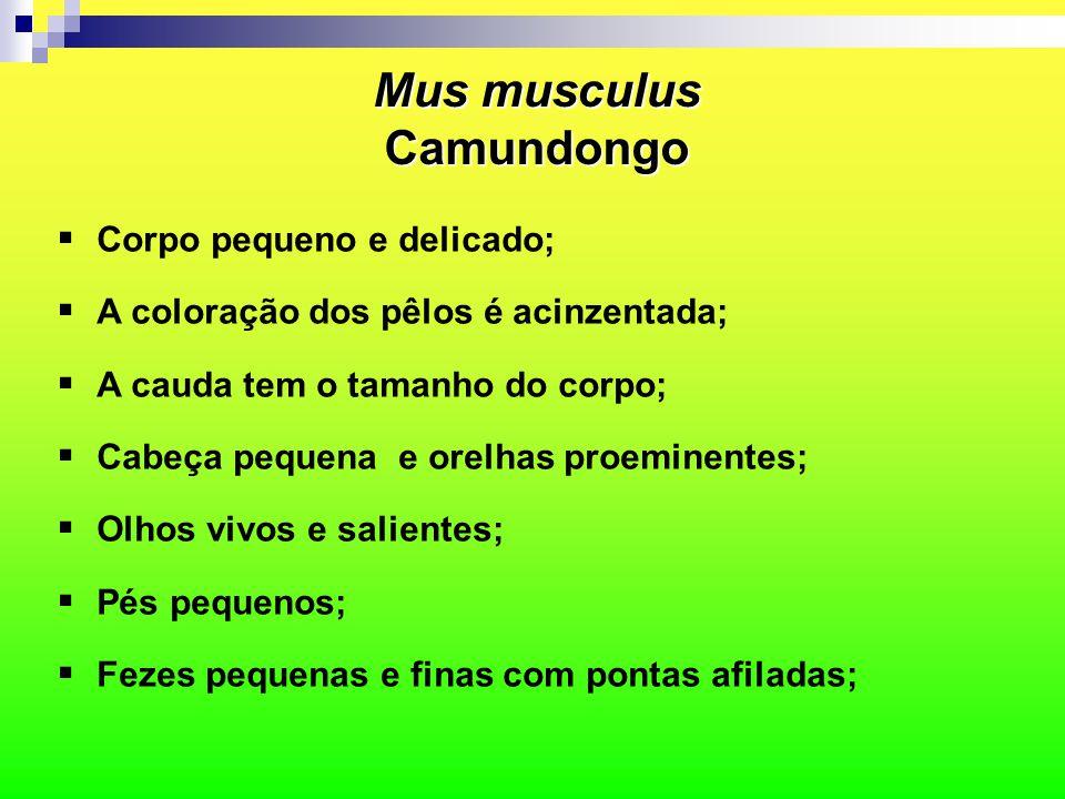 Mus musculus Camundongo