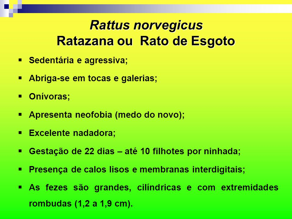 Rattus norvegicus Ratazana ou Rato de Esgoto