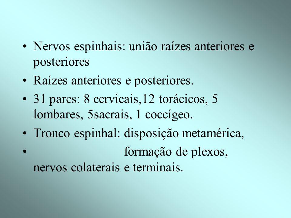 Nervos espinhais: união raízes anteriores e posteriores