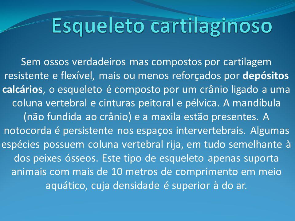 Esqueleto cartilaginoso