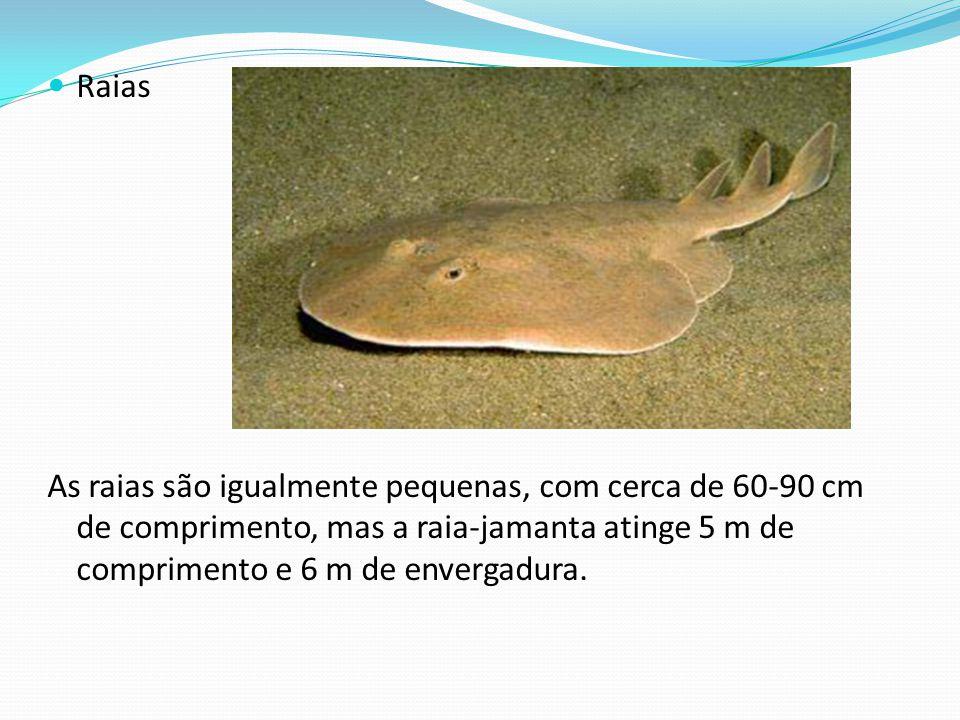 Raias As raias são igualmente pequenas, com cerca de 60-90 cm de comprimento, mas a raia-jamanta atinge 5 m de comprimento e 6 m de envergadura.