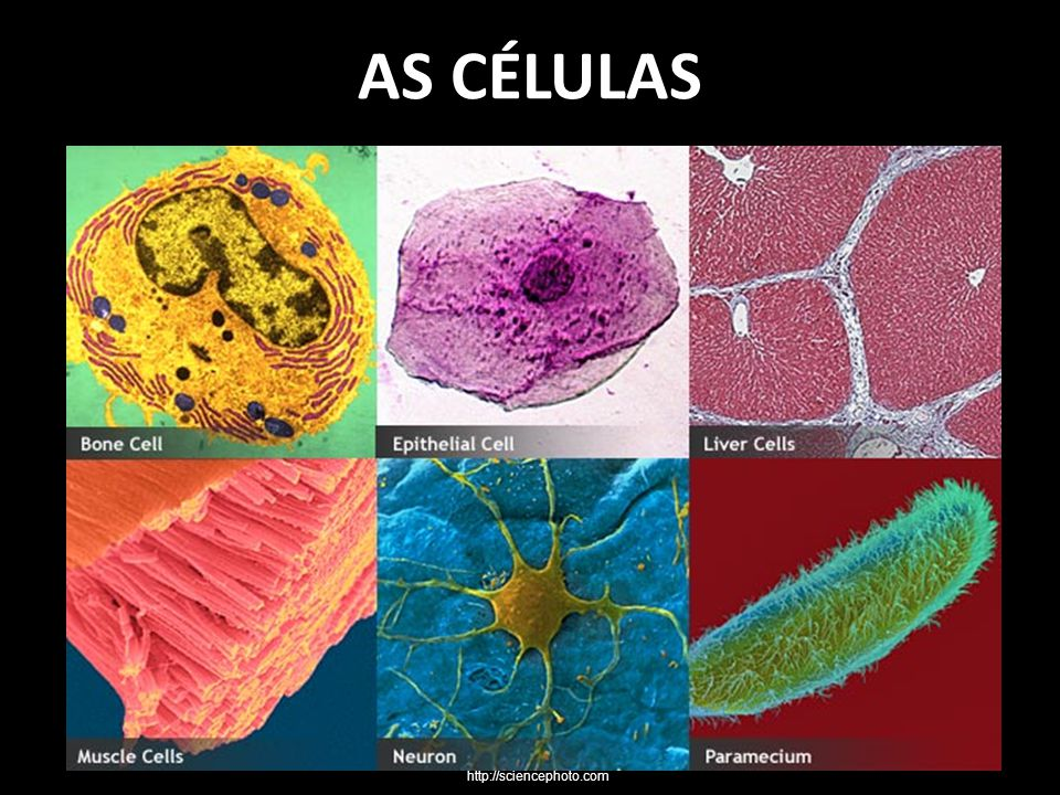 AS CÉLULAS http://sciencephoto.com