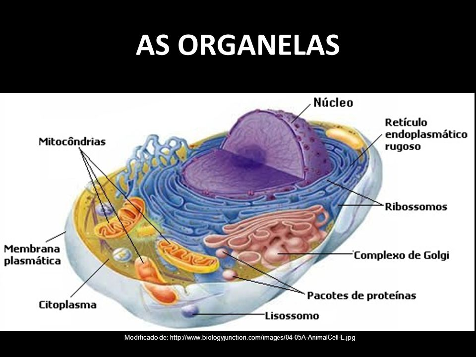AS ORGANELAS Modificado de: http://www.biologyjunction.com/images/04-05A-AnimalCell-L.jpg