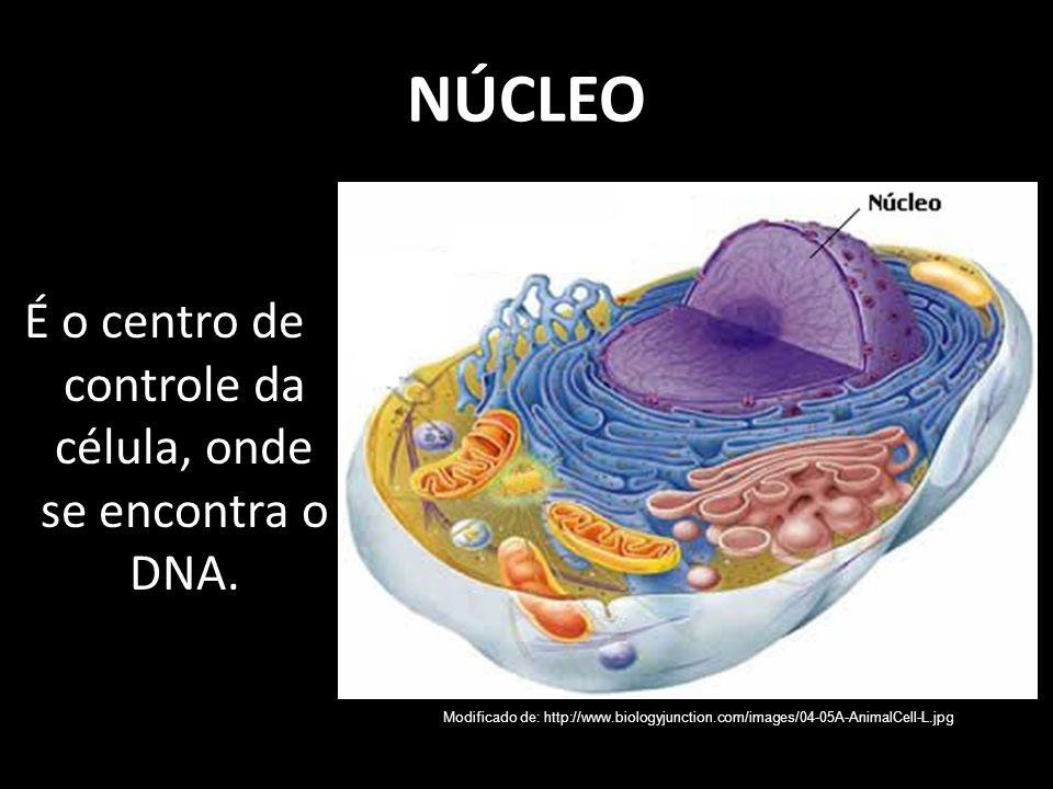 É o centro de controle da célula, onde se encontra o DNA.