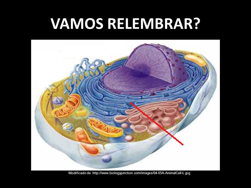 VAMOS RELEMBRAR Modificado de: http://www.biologyjunction.com/images/04-05A-AnimalCell-L.jpg