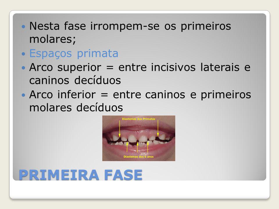 PRIMEIRA FASE Nesta fase irrompem-se os primeiros molares;