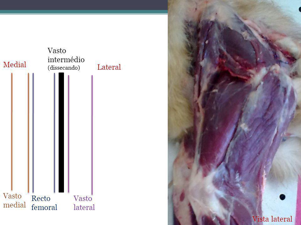 Vasto intermédio Medial Lateral Vasto medial Recto femoral