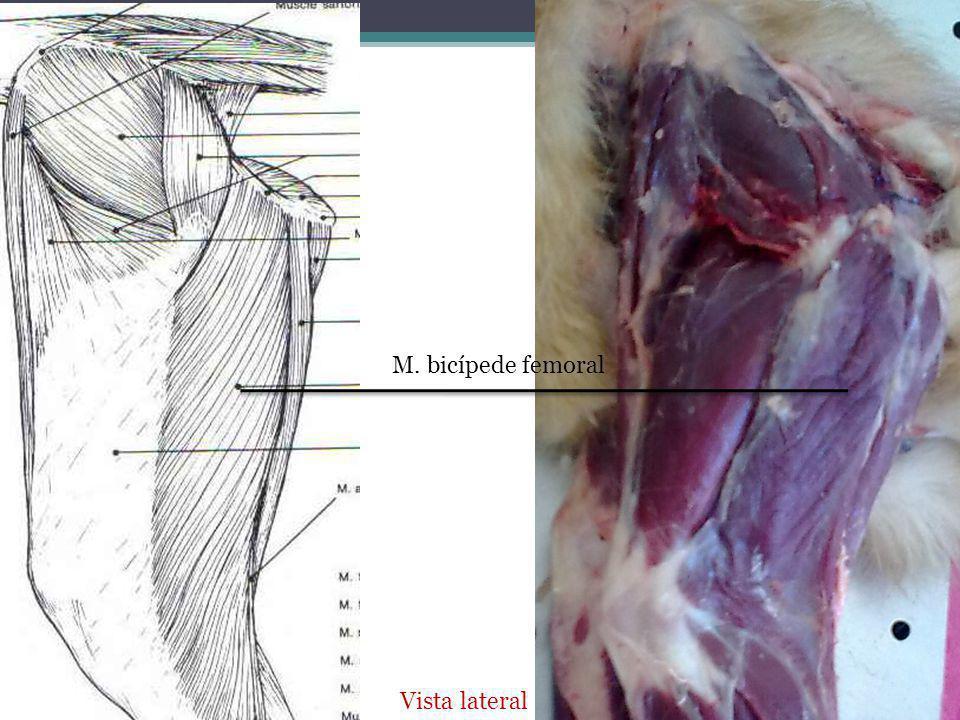 M. bicípede femoral Vista lateral