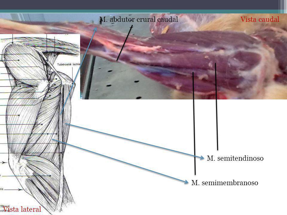 M. abdutor crural caudal