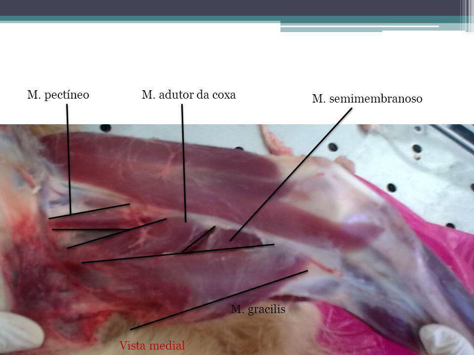 M. pectíneo M. adutor da coxa M. semimembranoso M. gracilis Vista medial