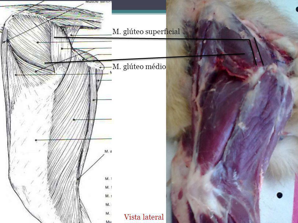 M. glúteo superficial M. glúteo médio Vista lateral
