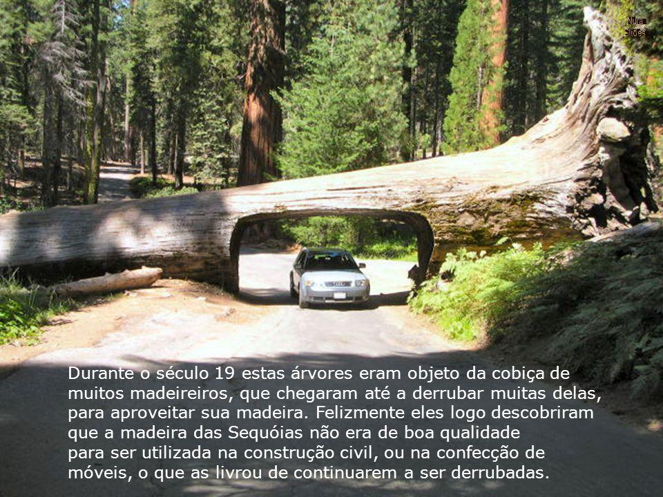 Durante o século 19 estas árvores eram objeto da cobiça de