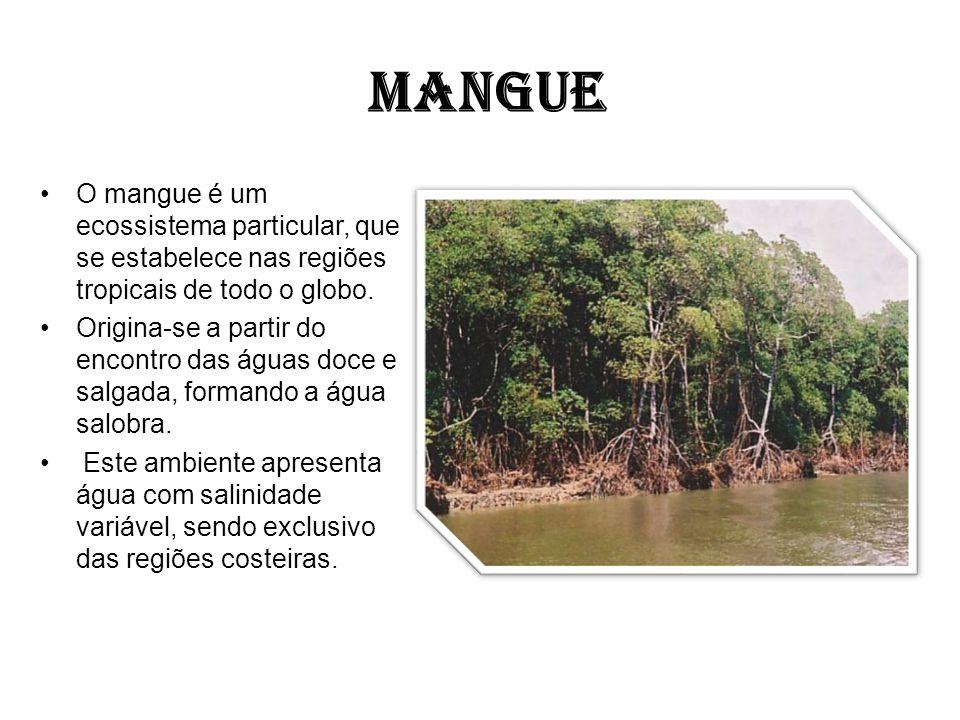 MANGUE O mangue é um ecossistema particular, que se estabelece nas regiões tropicais de todo o globo.
