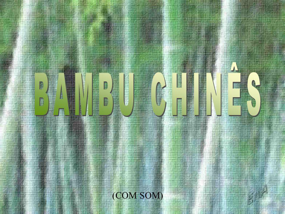 BAMBU CHINÊS (COM SOM)