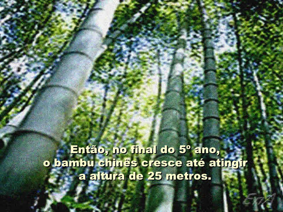 Então, no final do 5º ano, o bambu chinês cresce até atingir a altura de 25 metros.