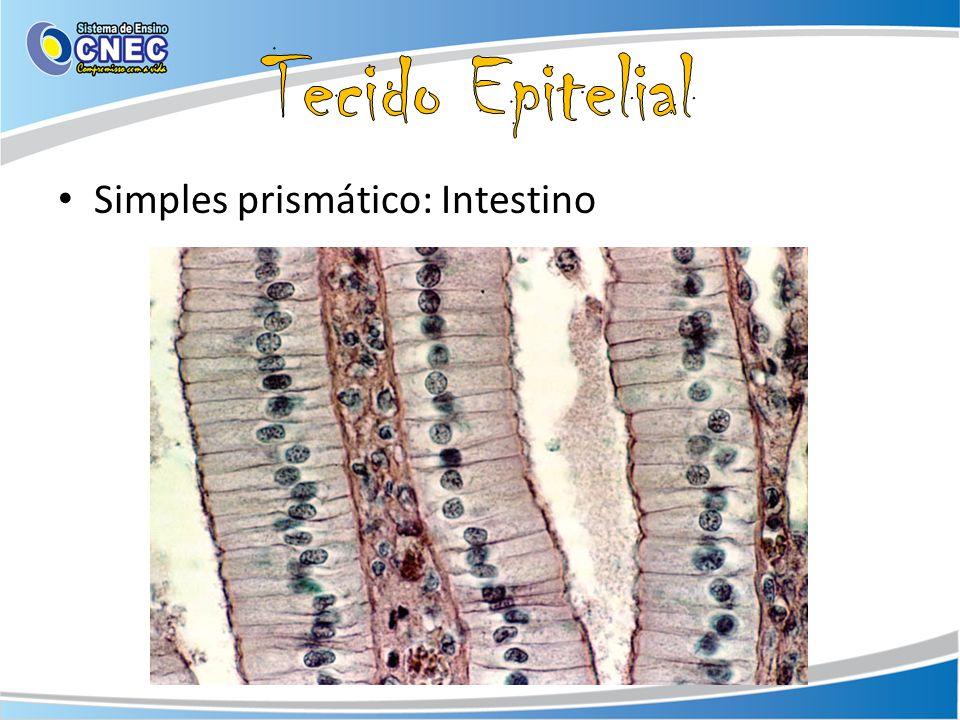 Tecido Epitelial Simples prismático: Intestino