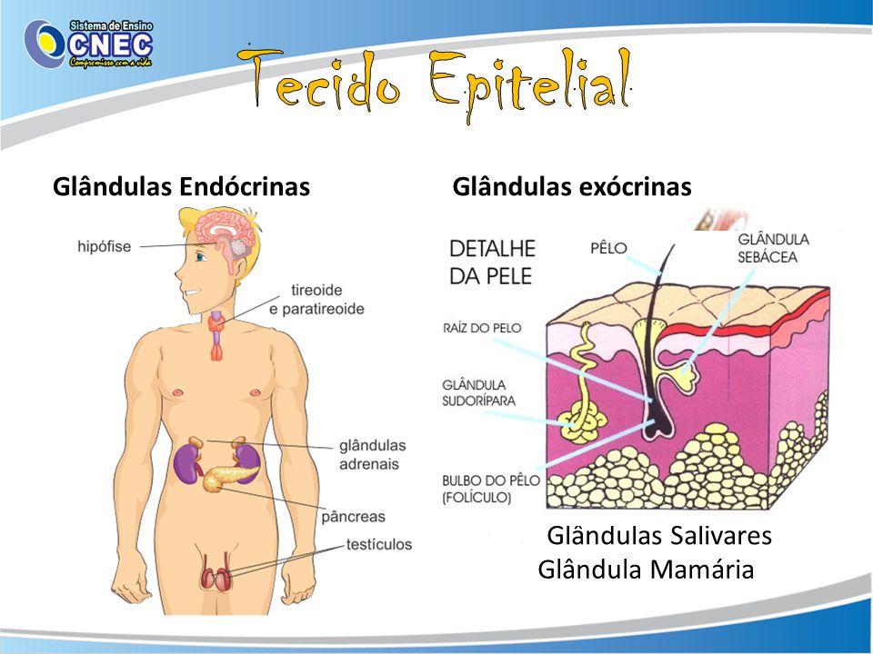 Tecido Epitelial Glândulas Endócrinas Glândulas exócrinas