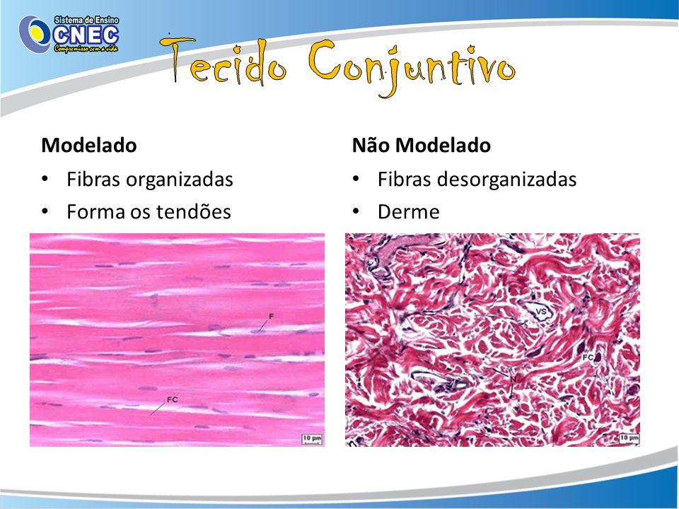 Tecido Conjuntivo Modelado Não Modelado Fibras organizadas