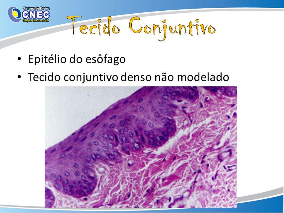 Tecido Conjuntivo Epitélio do esôfago