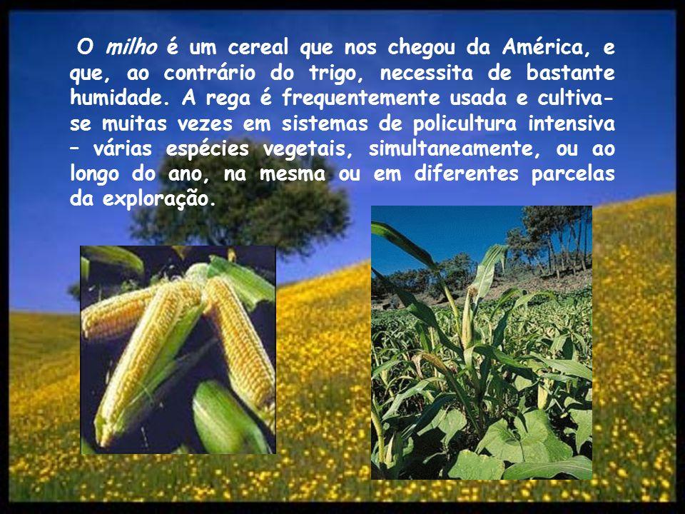 O milho é um cereal que nos chegou da América, e que, ao contrário do trigo, necessita de bastante humidade.
