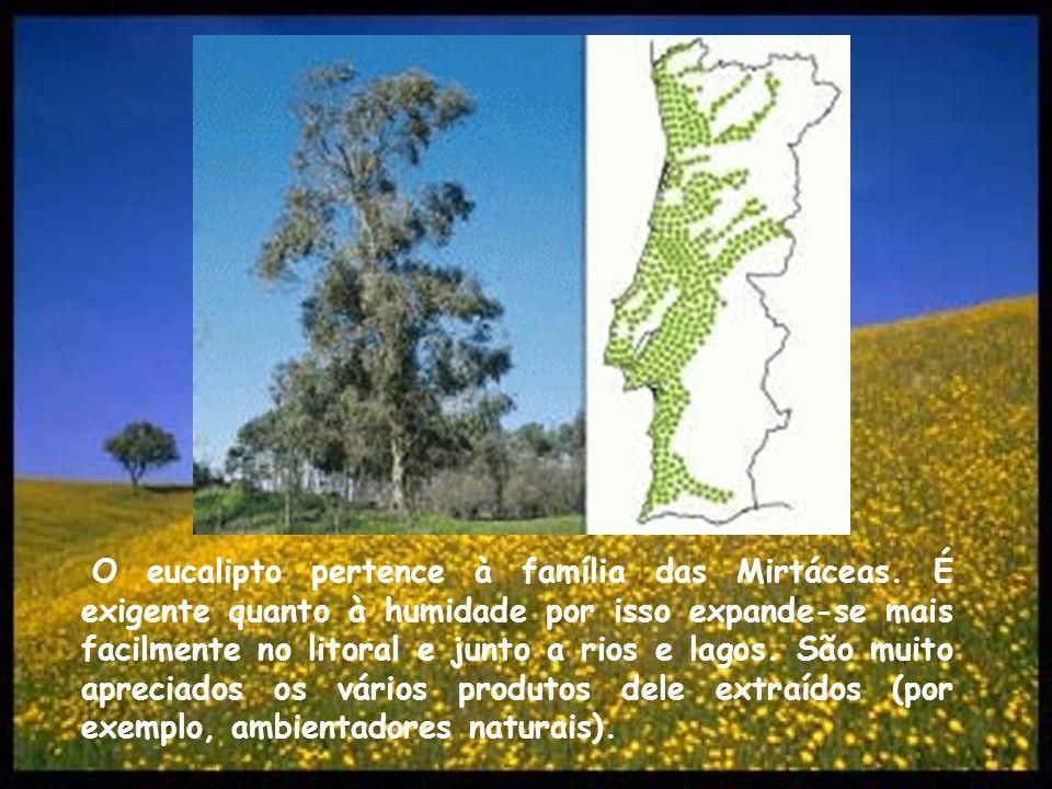 O eucalipto pertence à família das Mirtáceas