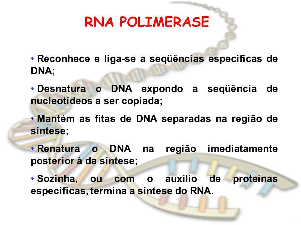RNA POLIMERASE Reconhece e liga-se a seqüências específicas de DNA;