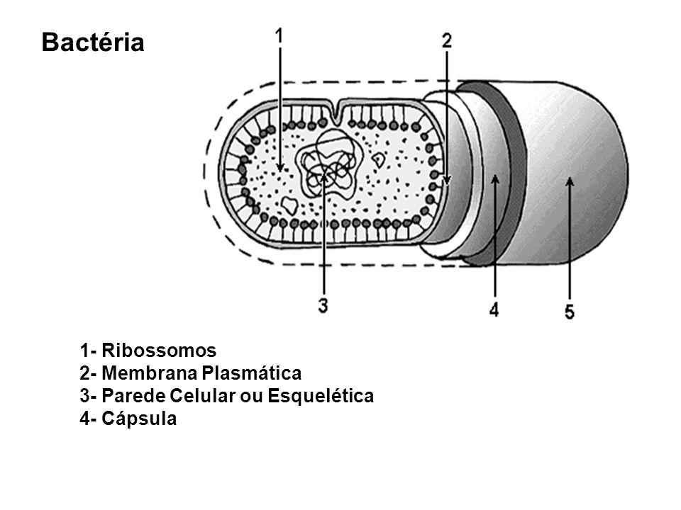 Bactéria 1- Ribossomos 2- Membrana Plasmática