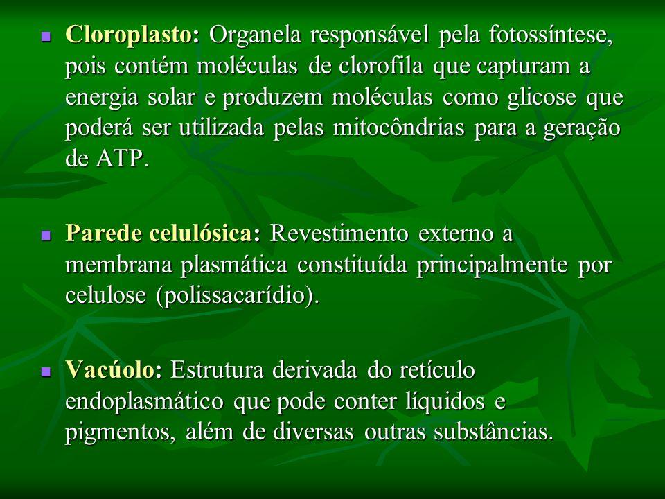Cloroplasto: Organela responsável pela fotossíntese, pois contém moléculas de clorofila que capturam a energia solar e produzem moléculas como glicose que poderá ser utilizada pelas mitocôndrias para a geração de ATP.