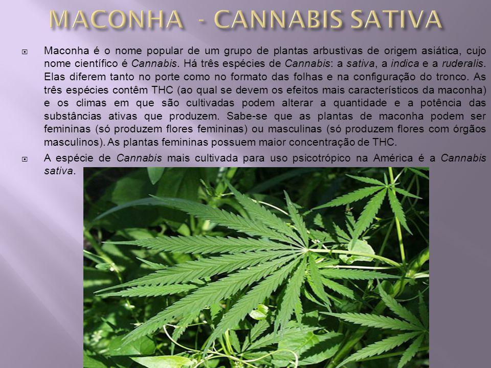 MACONHA - CANNABIS SATIVA