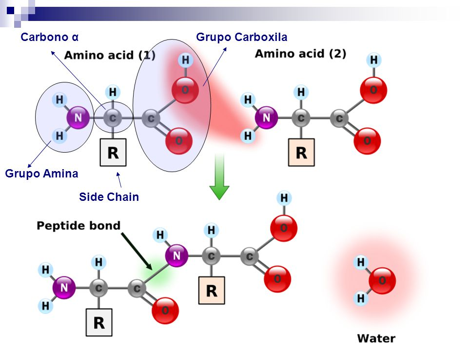 Carbono α Grupo Carboxila Grupo Amina Side Chain