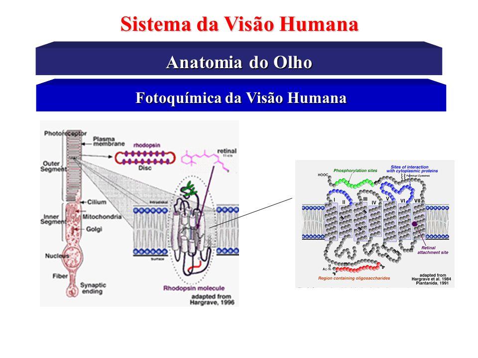 Sistema da Visão Humana Fotoquímica da Visão Humana