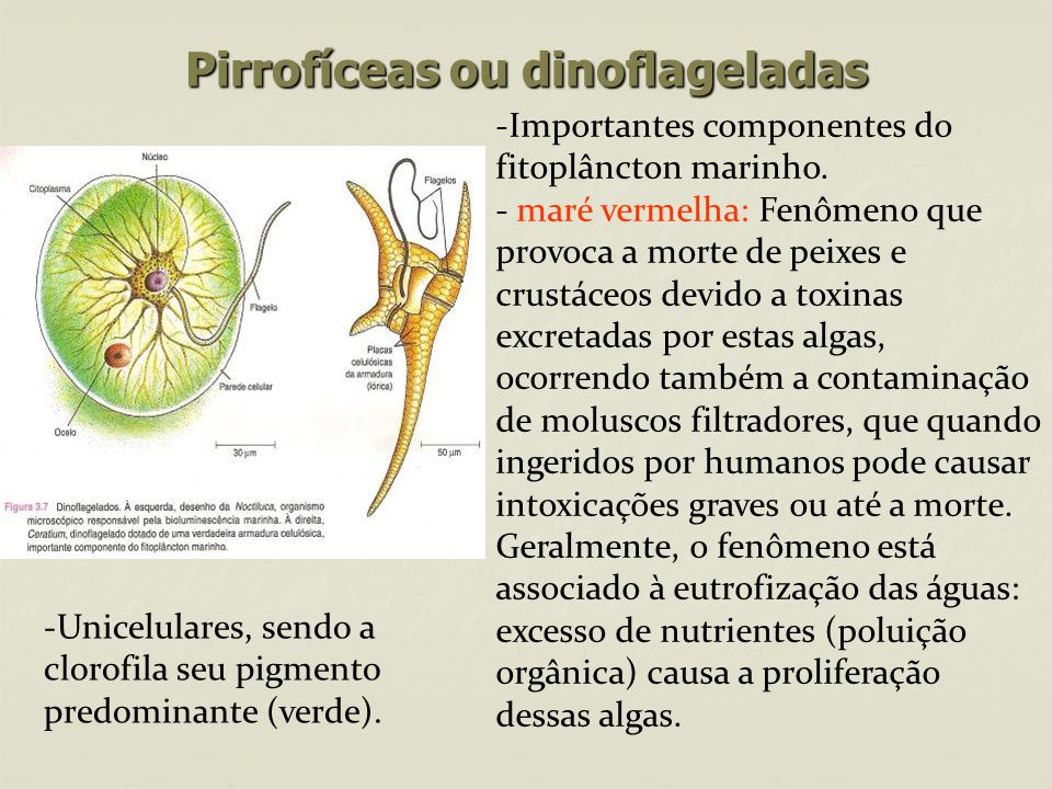 Pirrofíceas ou dinoflageladas