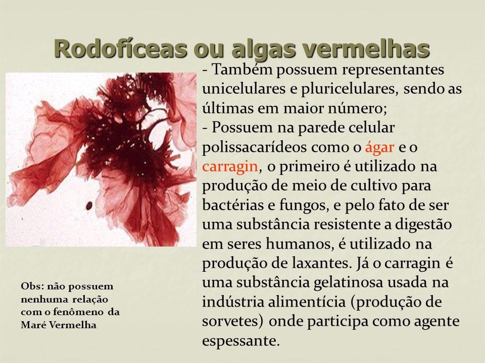 Rodofíceas ou algas vermelhas