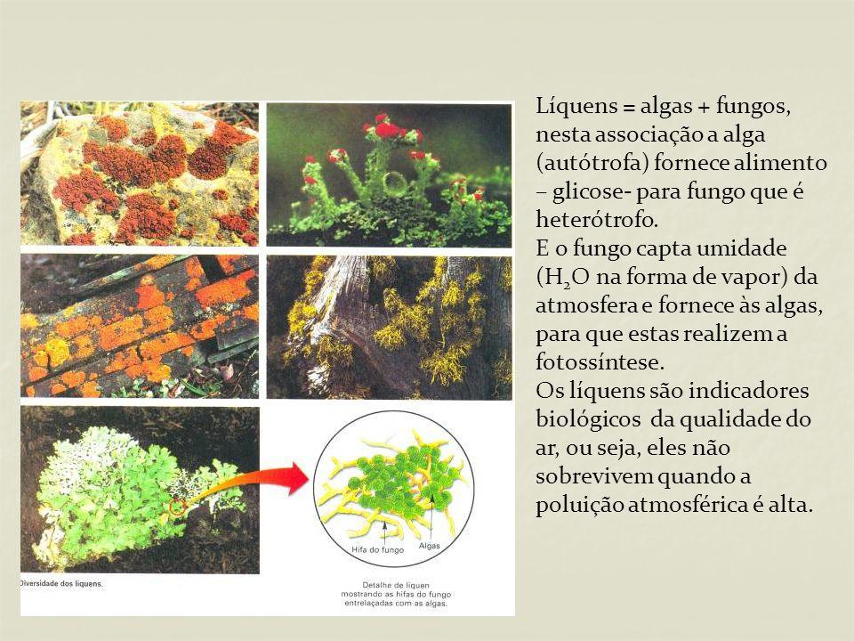 Líquens = algas + fungos, nesta associação a alga (autótrofa) fornece alimento – glicose- para fungo que é heterótrofo.