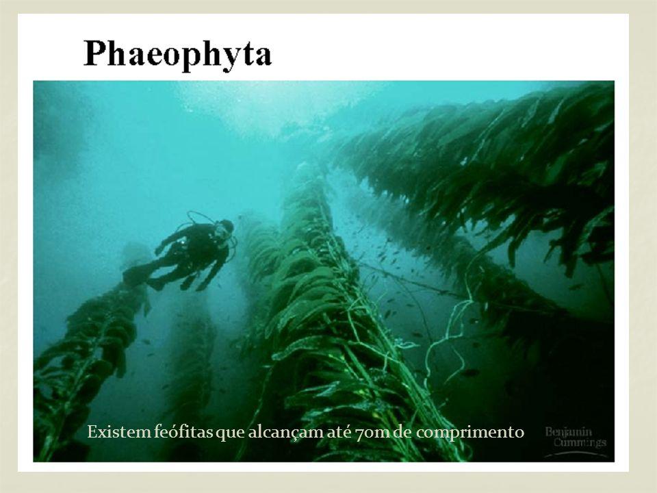 Existem feófitas que alcançam até 70m de comprimento