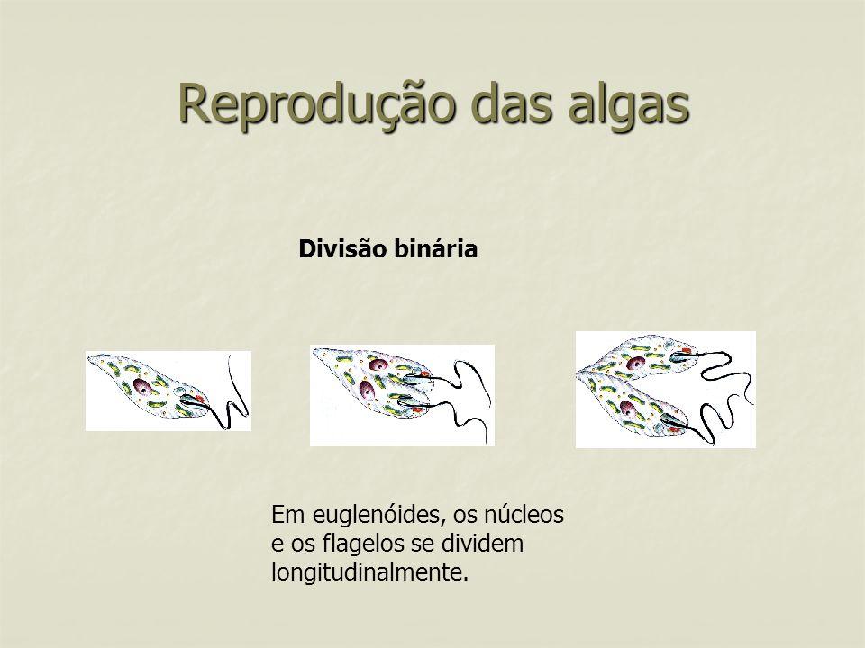 Reprodução das algas Divisão binária