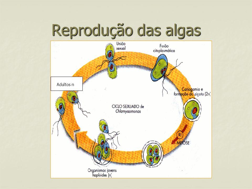 Reprodução das algas Adultos n