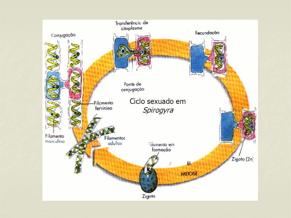 Ciclo sexuado em Spirogyra